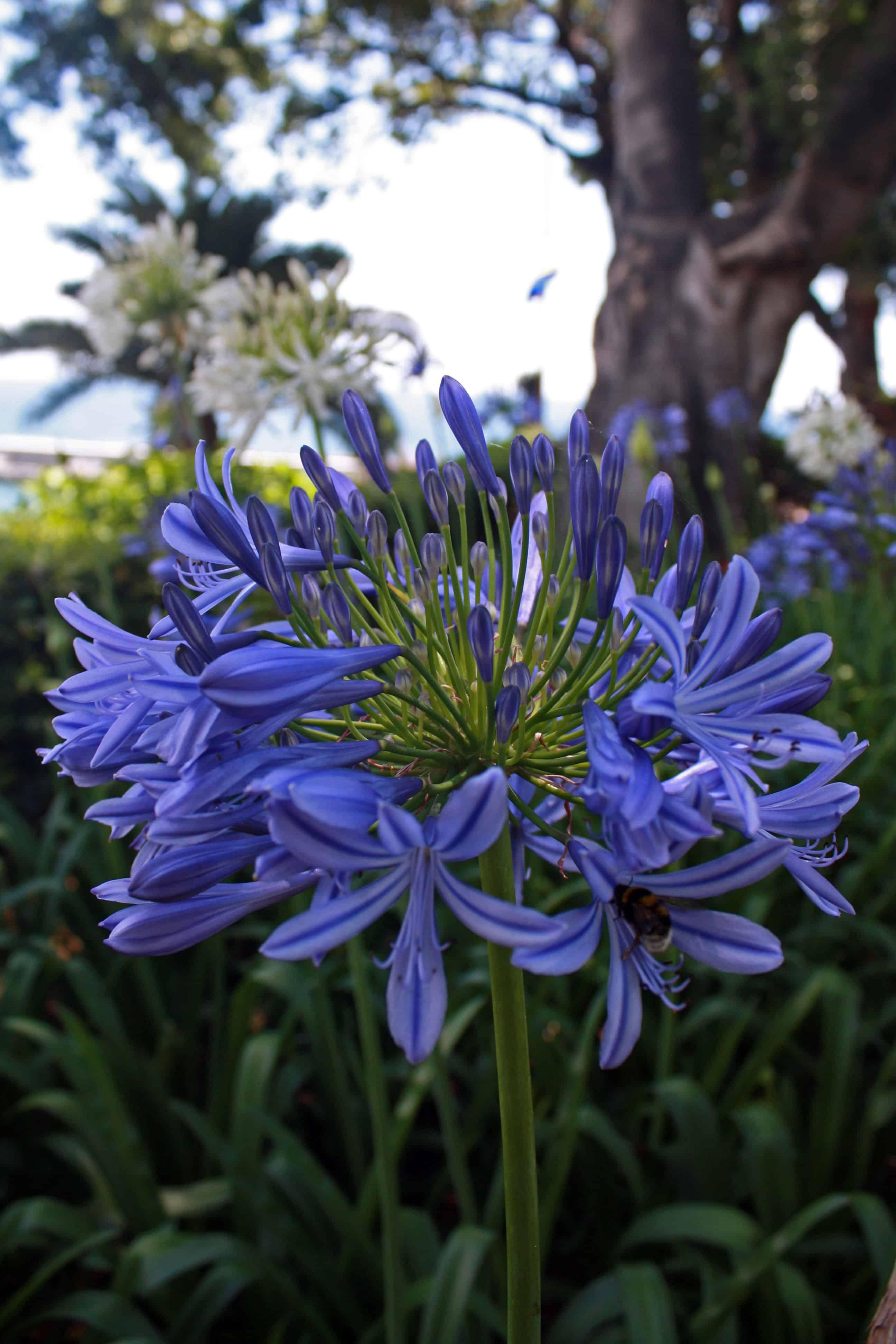 Agapanthus in Madeira