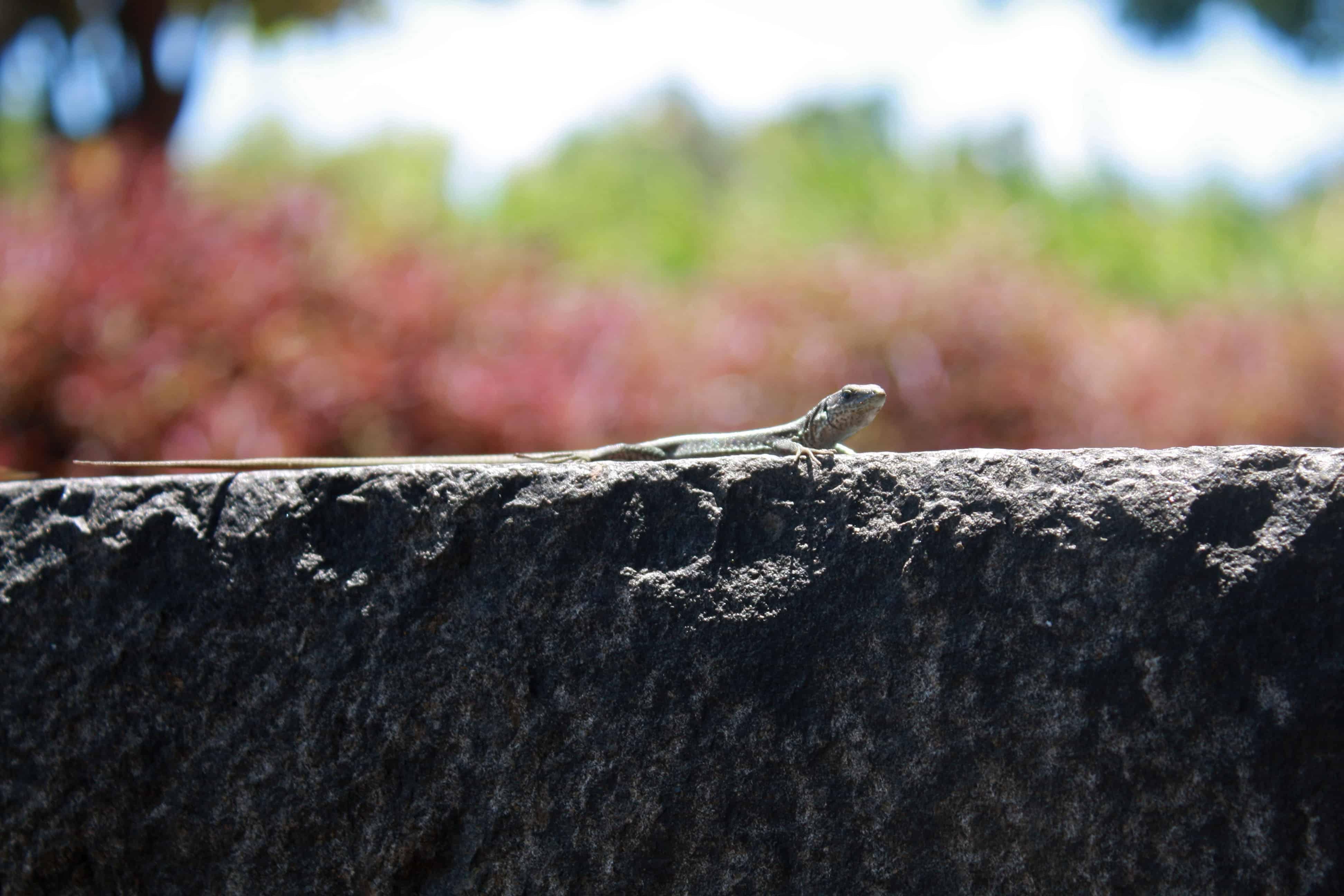 Lizard in Santa Catarina Park, Madeira