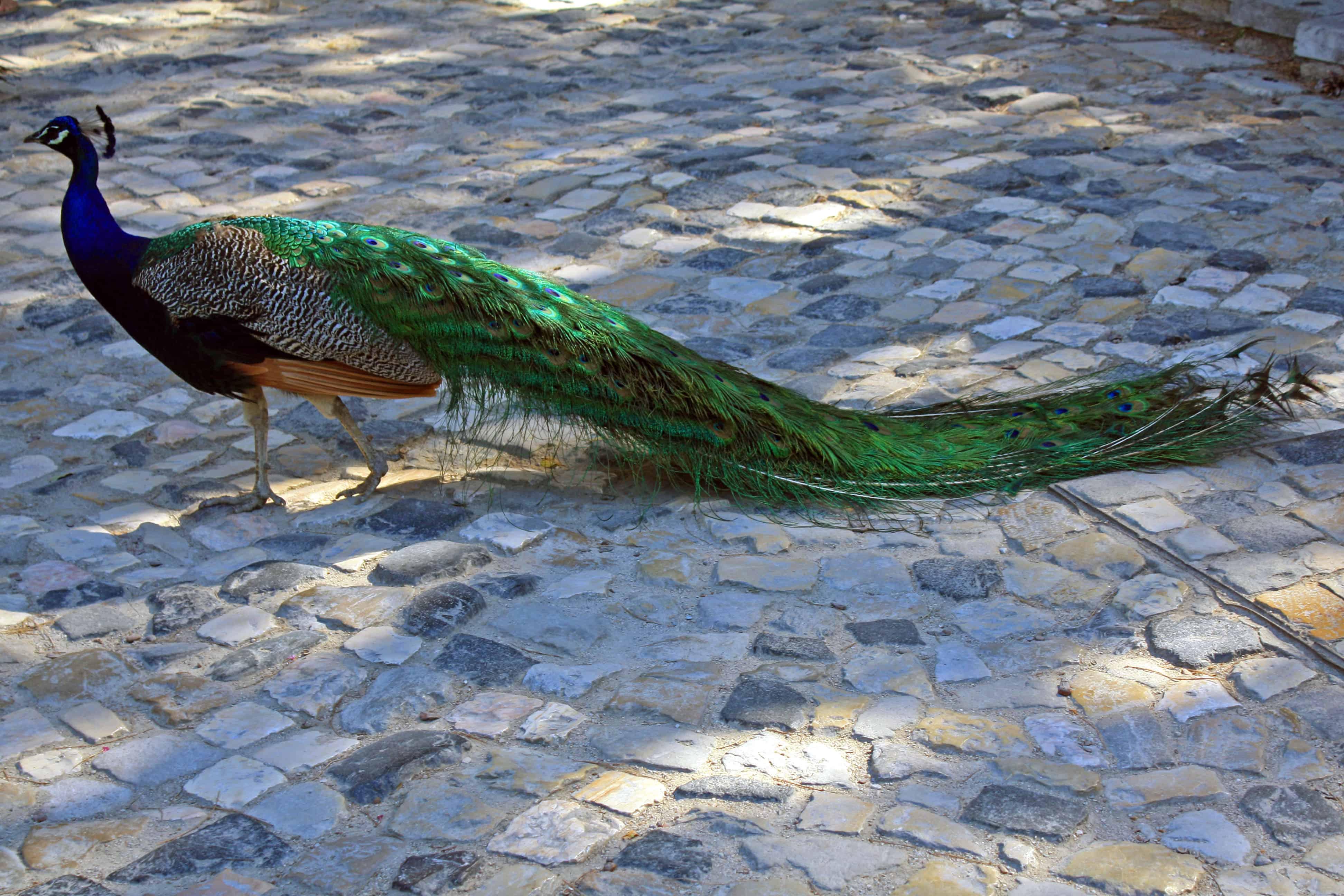 Peacock at Castelo de São Jorge, Lisbon