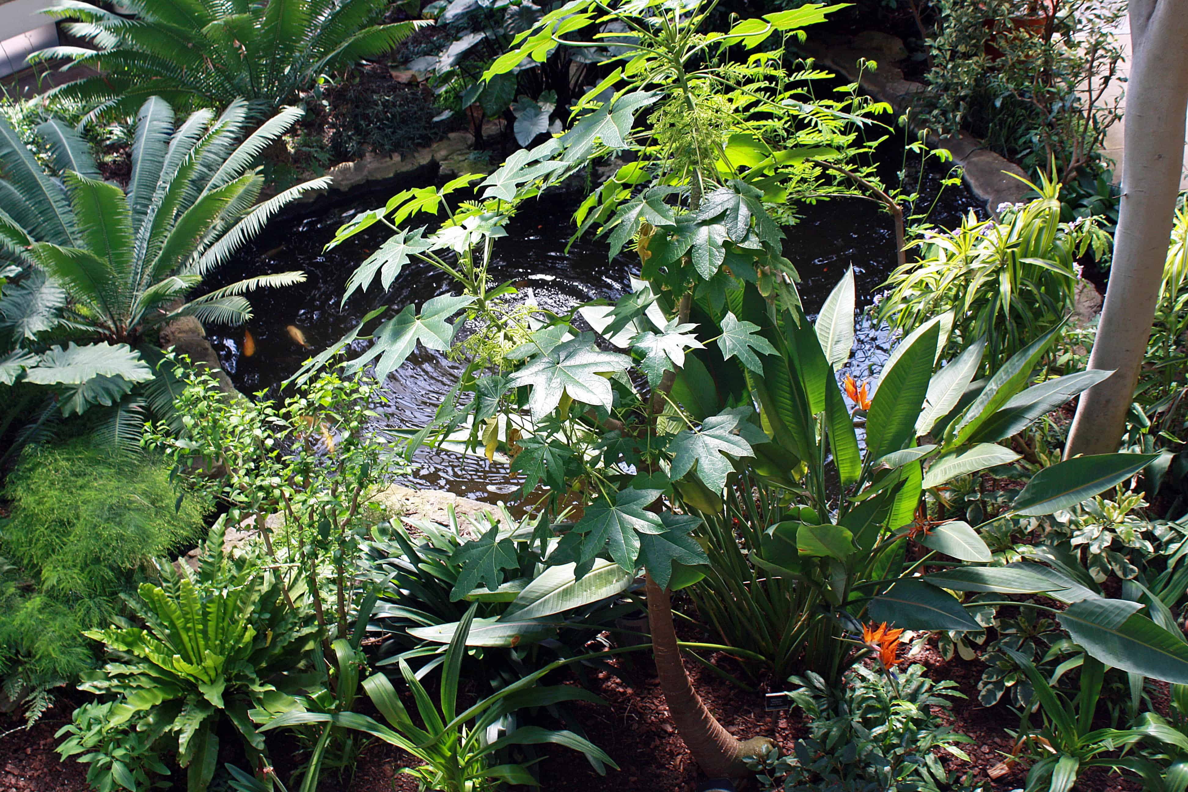 Carp pond in Barbican Conservatory, London