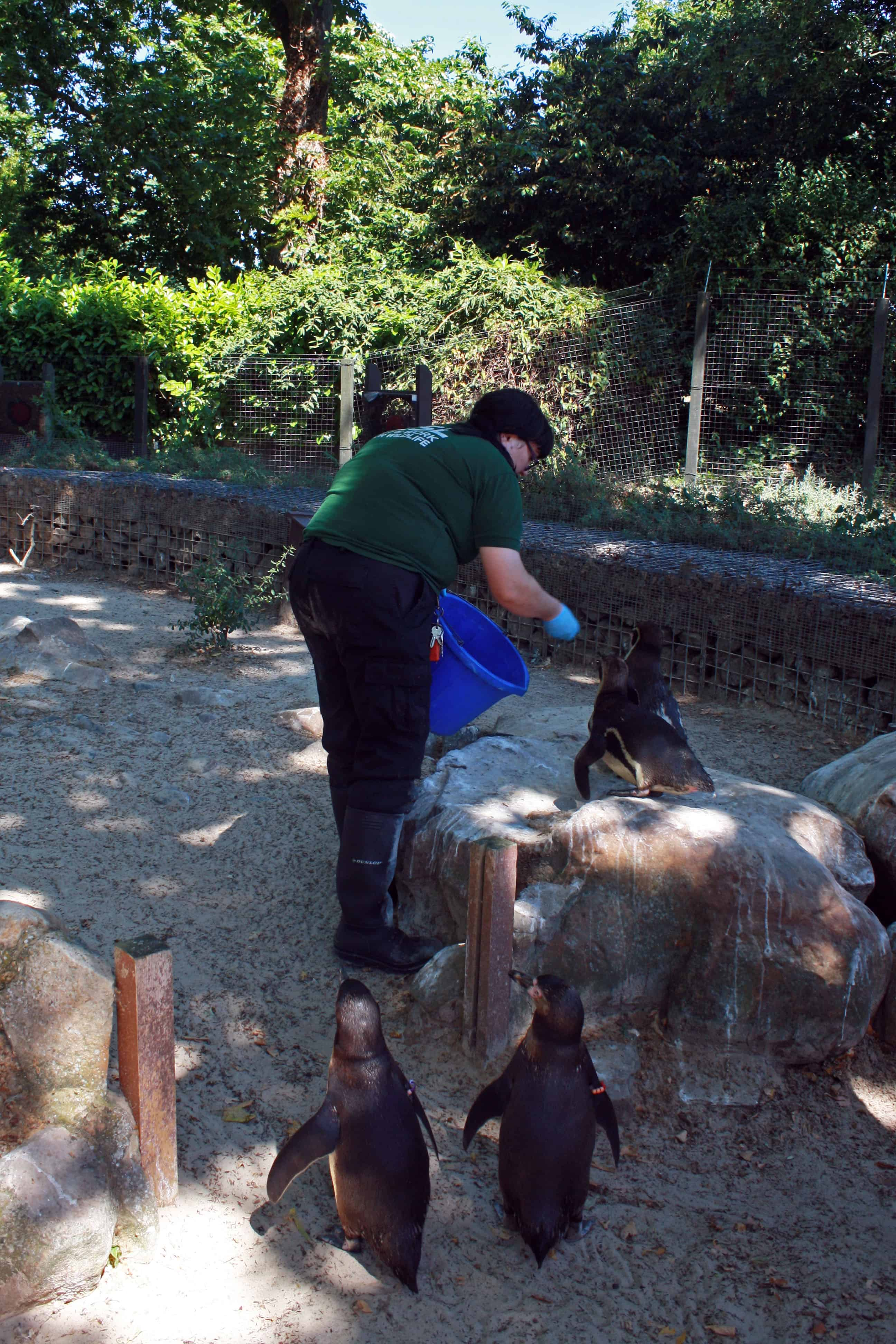 Feeding penguins at ZSL London Zoo