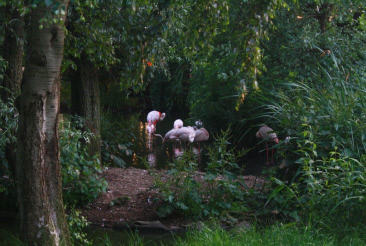 Flamingos at London Zoo