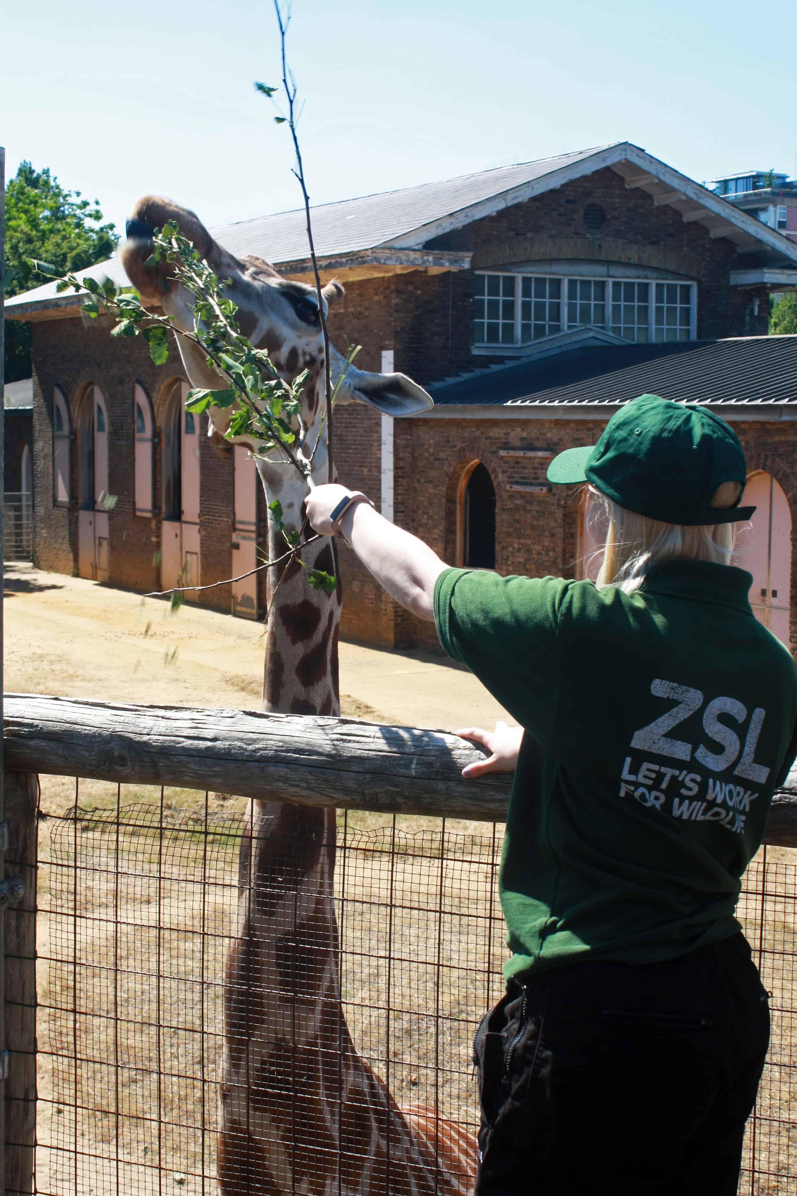 Giraffe eating at ZSL London Zoo