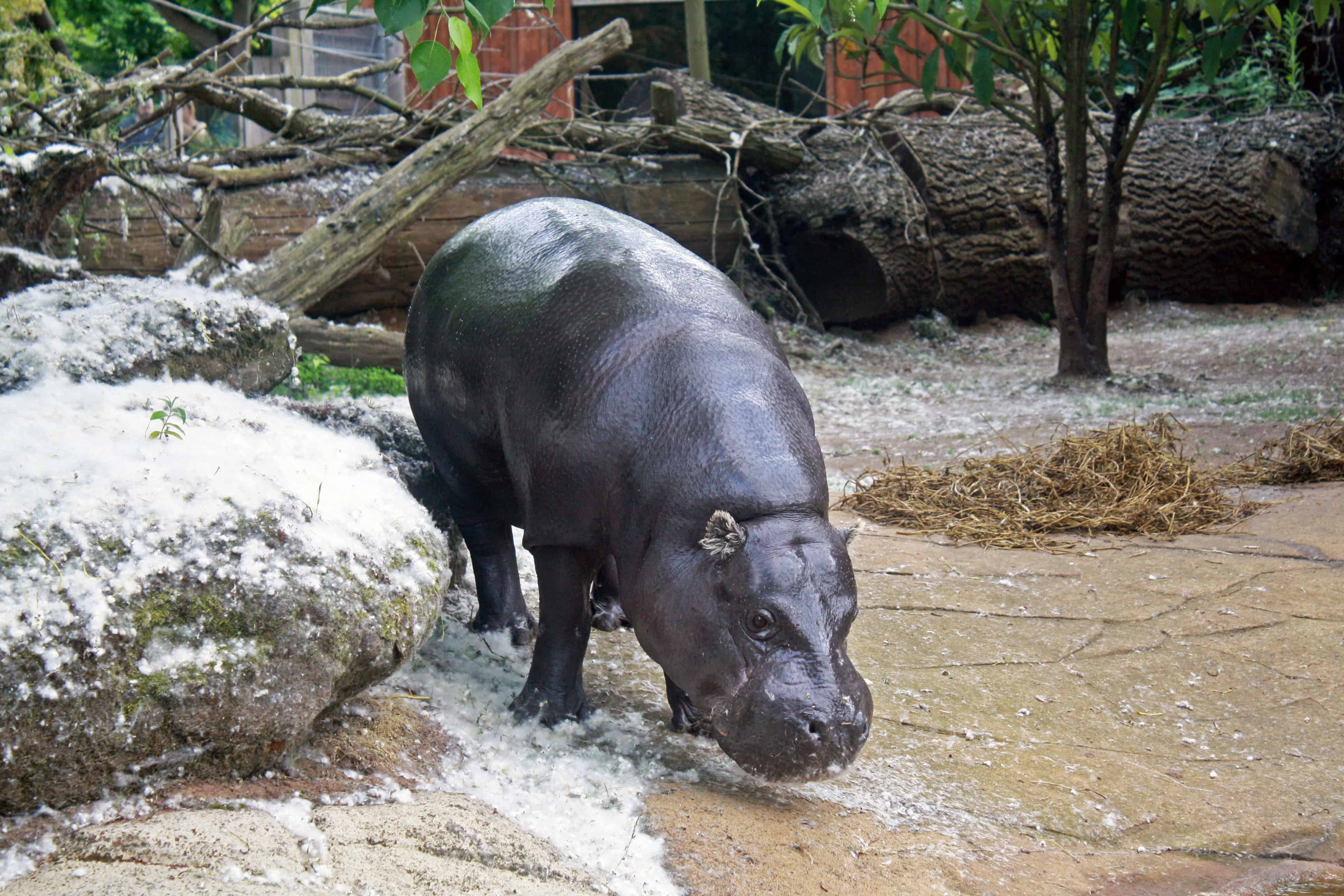 Pygmy Hippo at London Zoo