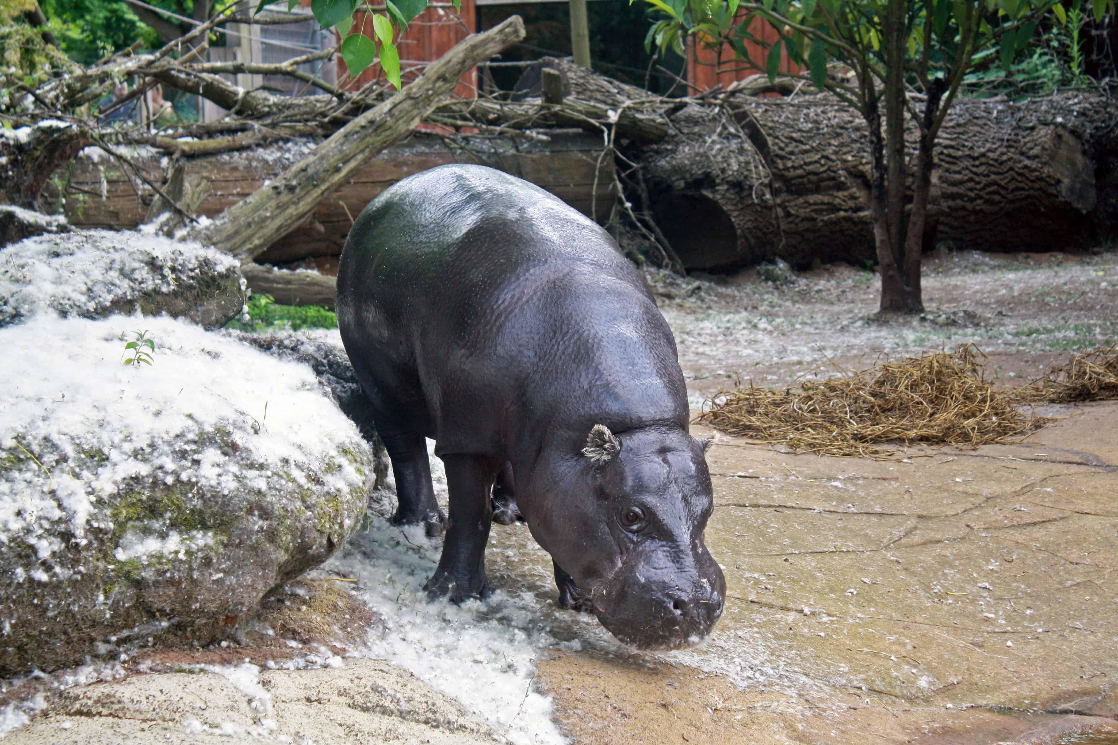 Pygmy Hippo at London Zoo