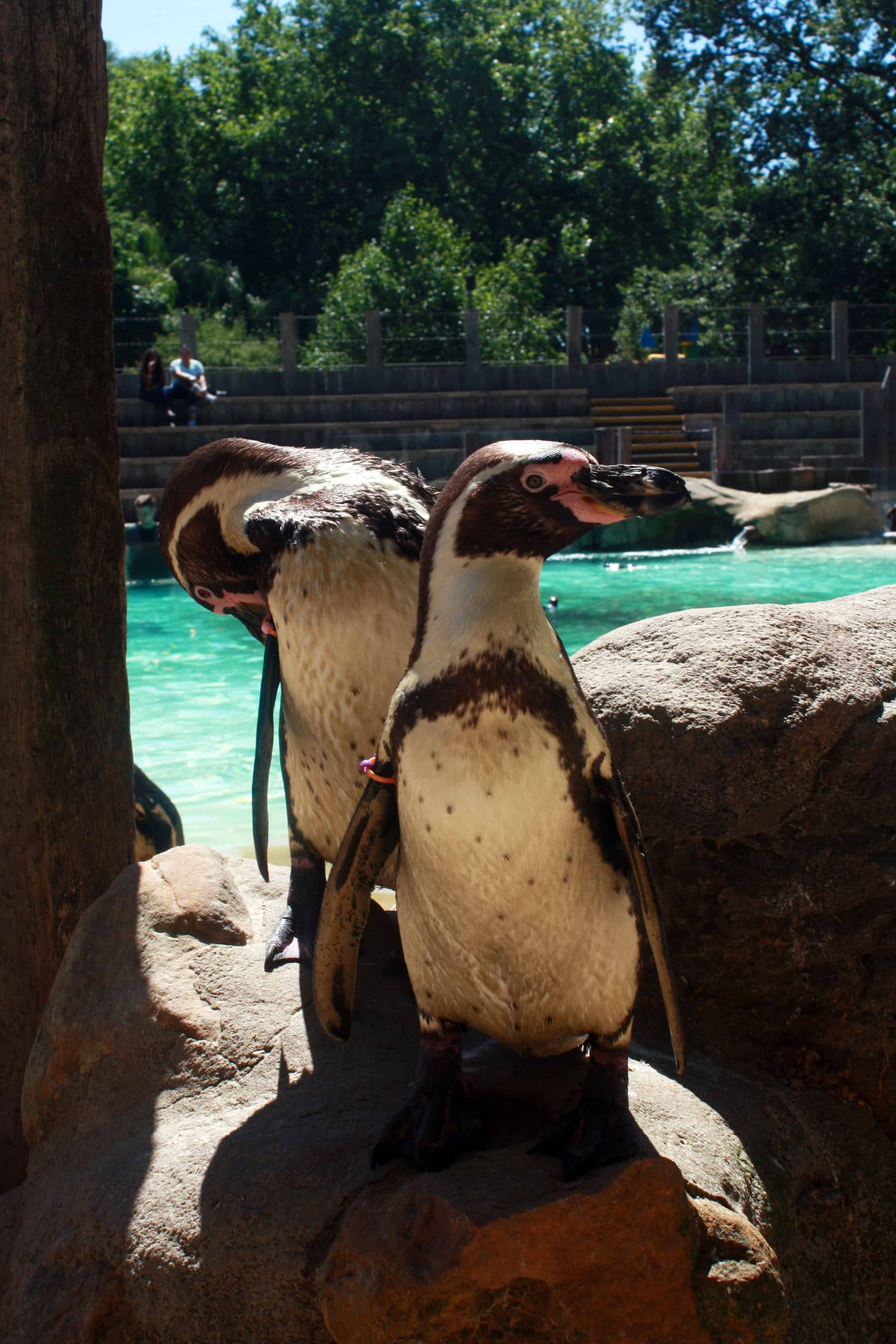 Humboldt penguin, Meet the Penguins at ZSL London Zoo