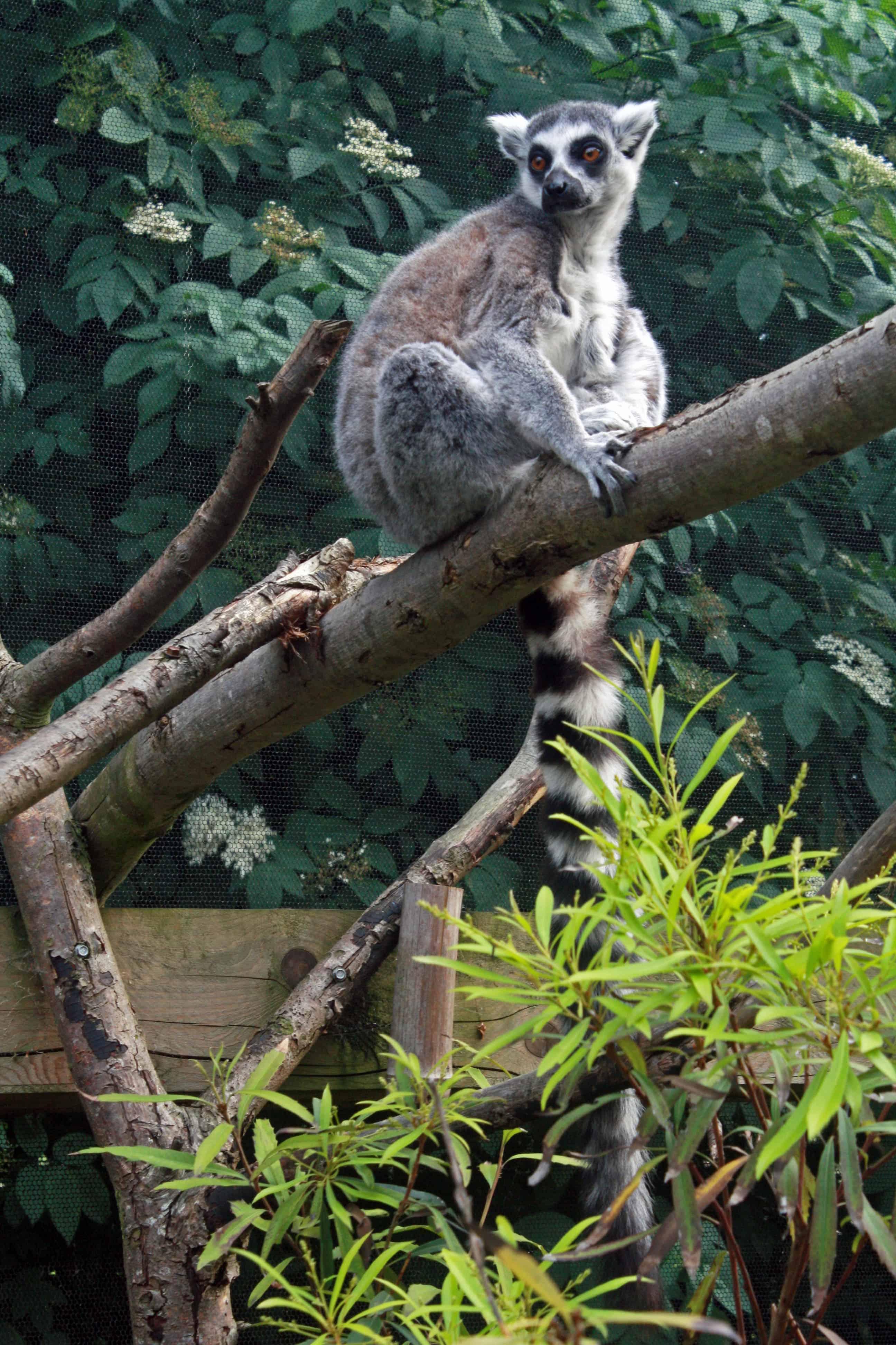 Lemur at London Zoo