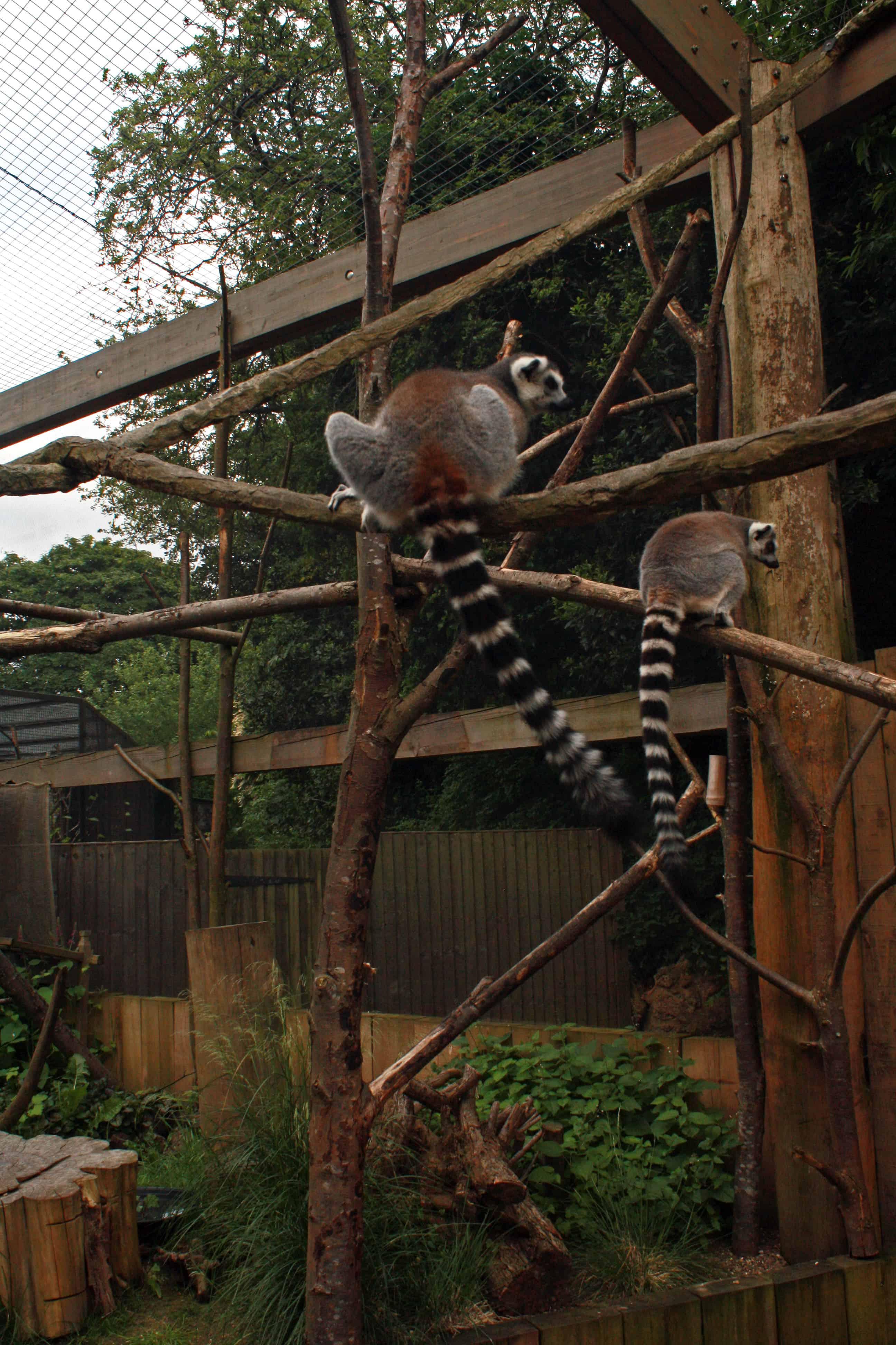 Lemurs at London Zoo