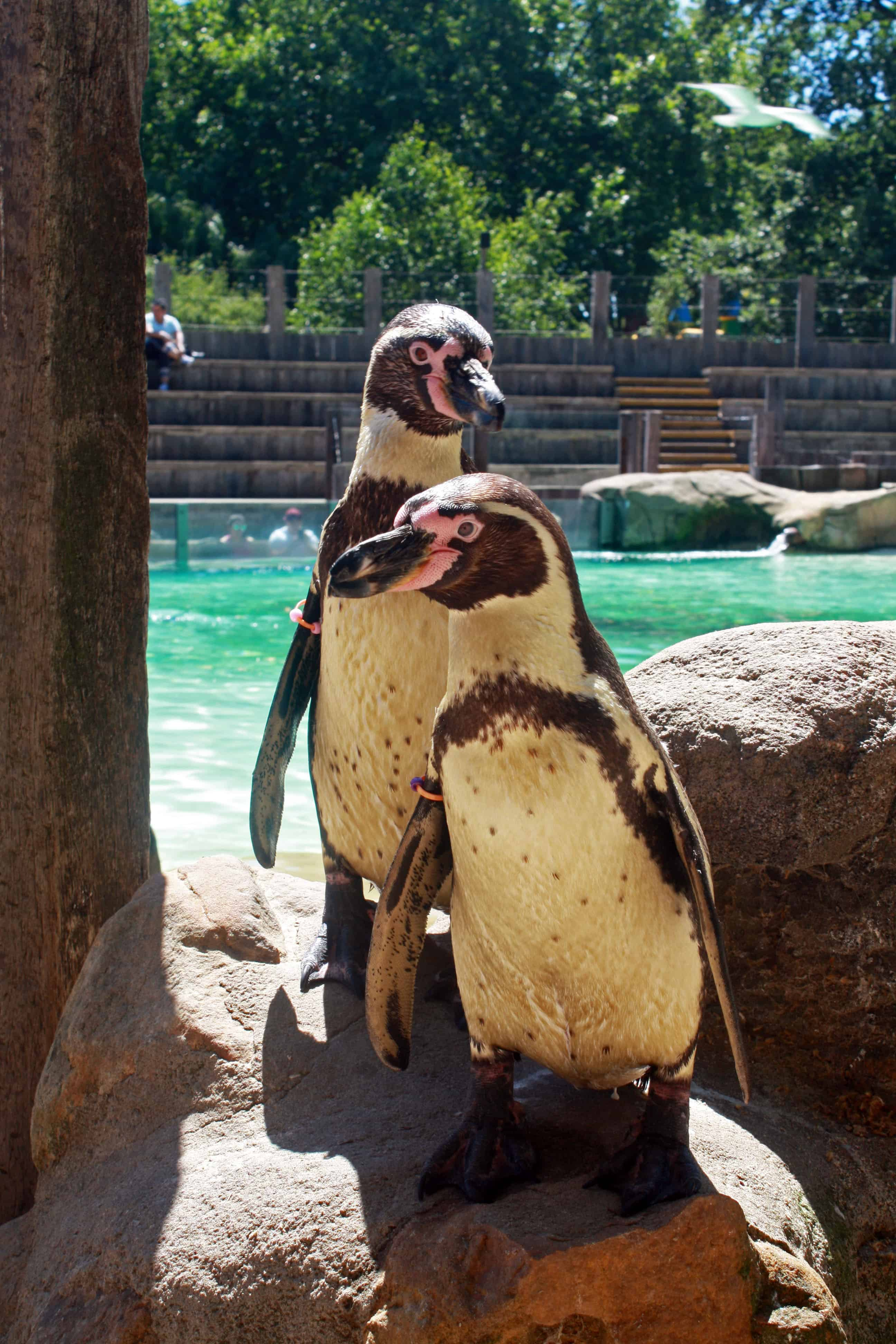Meet the penguins at ZSL London Zoo