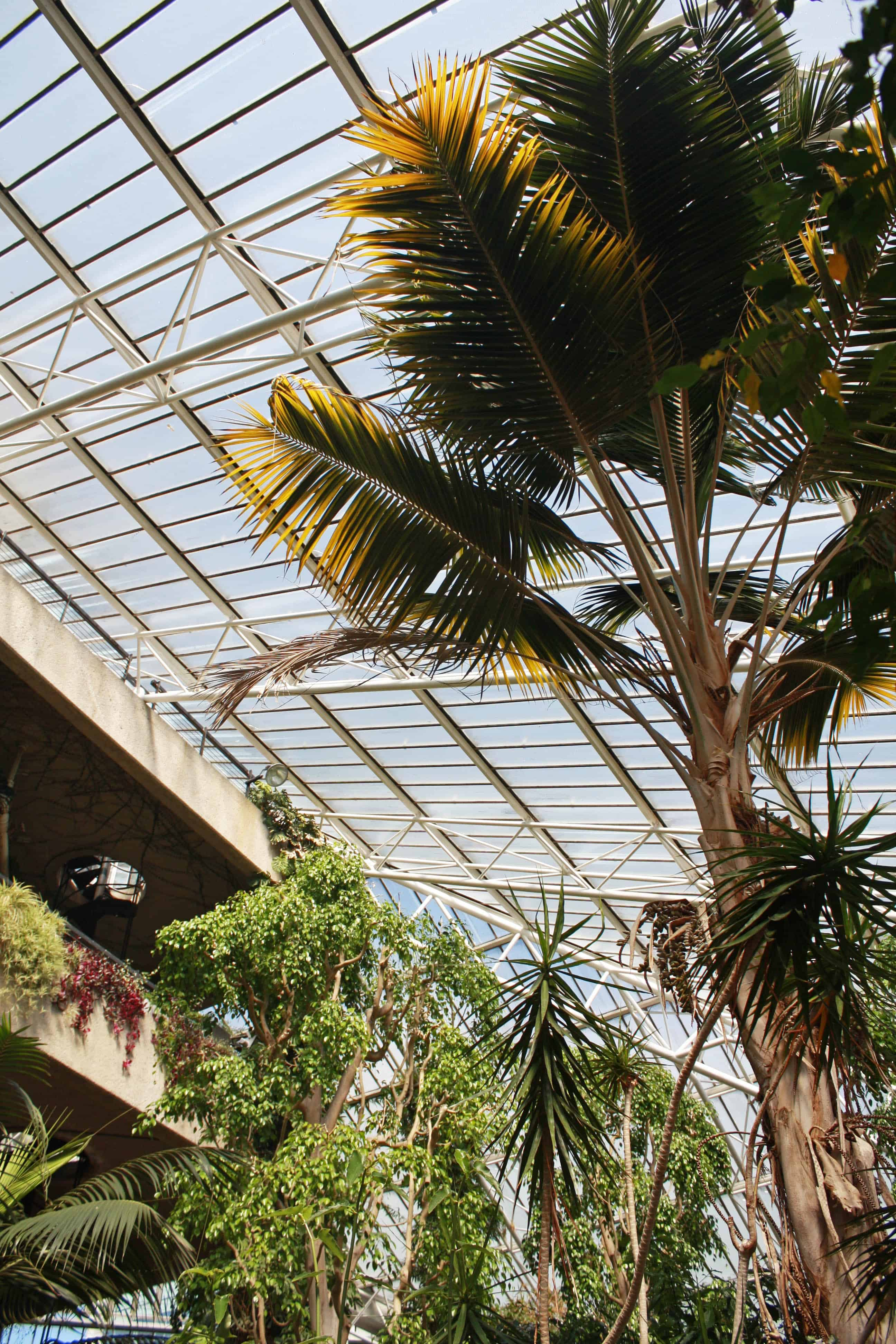 Palm tree in Barbican Conservatory, London