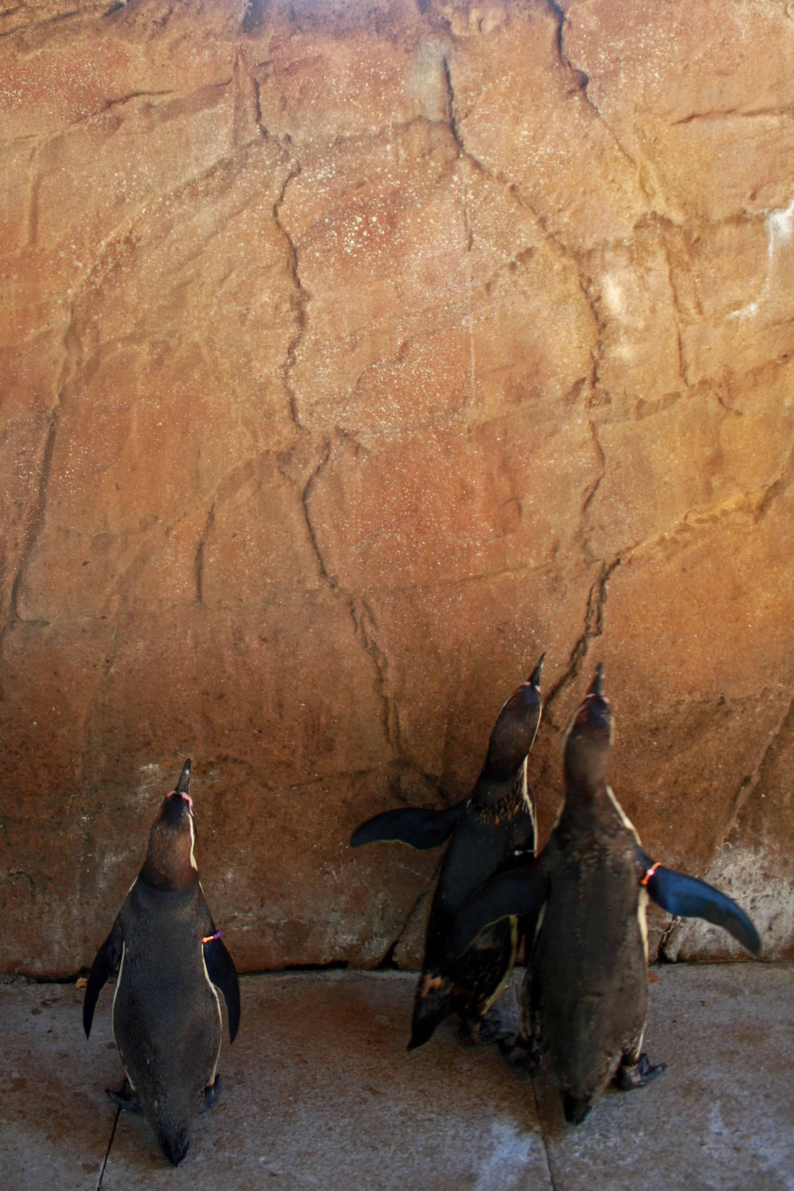 Penguins chasing light at ZSL London Zoo