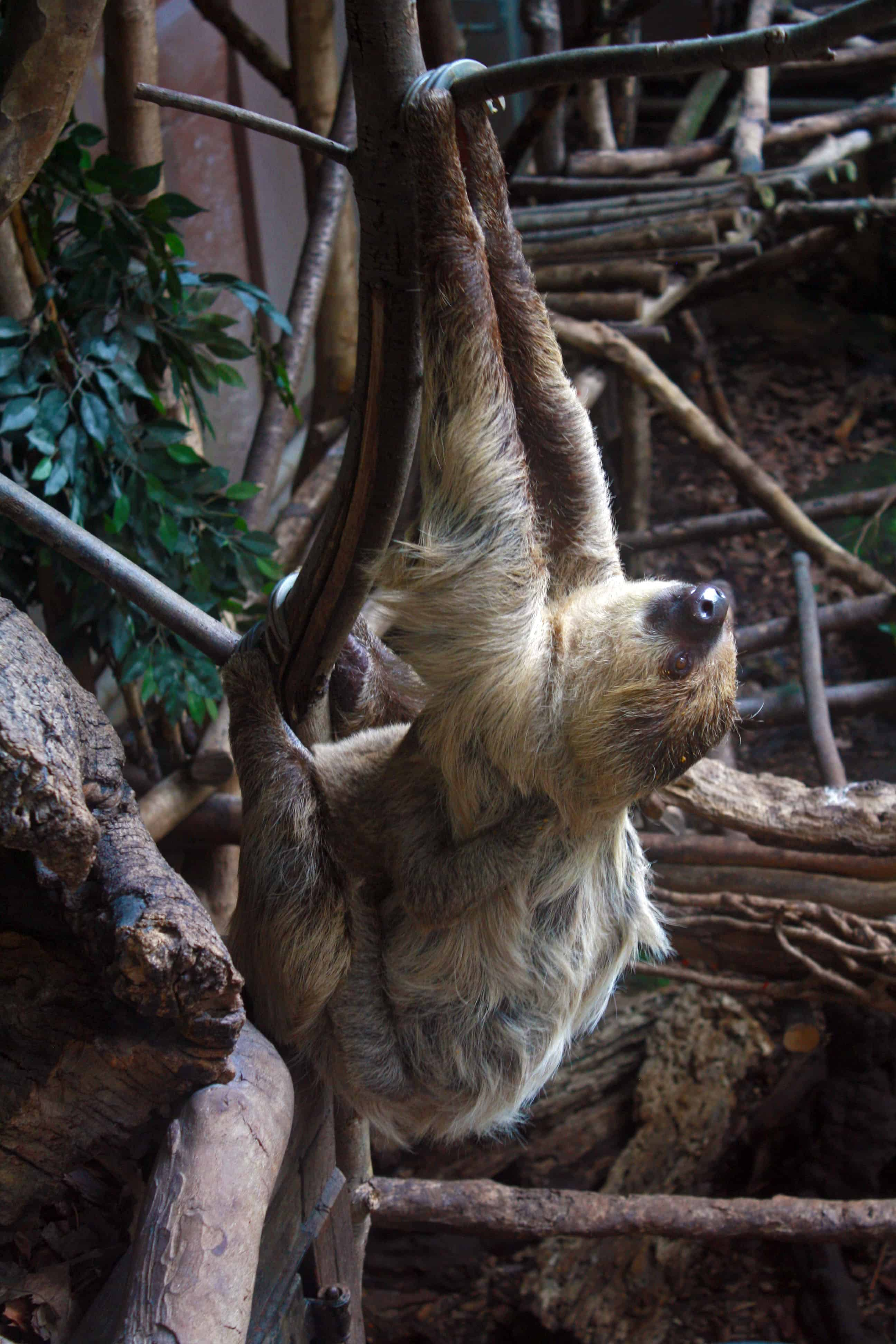 Mama sloth with a baby sloth at London Zoo
