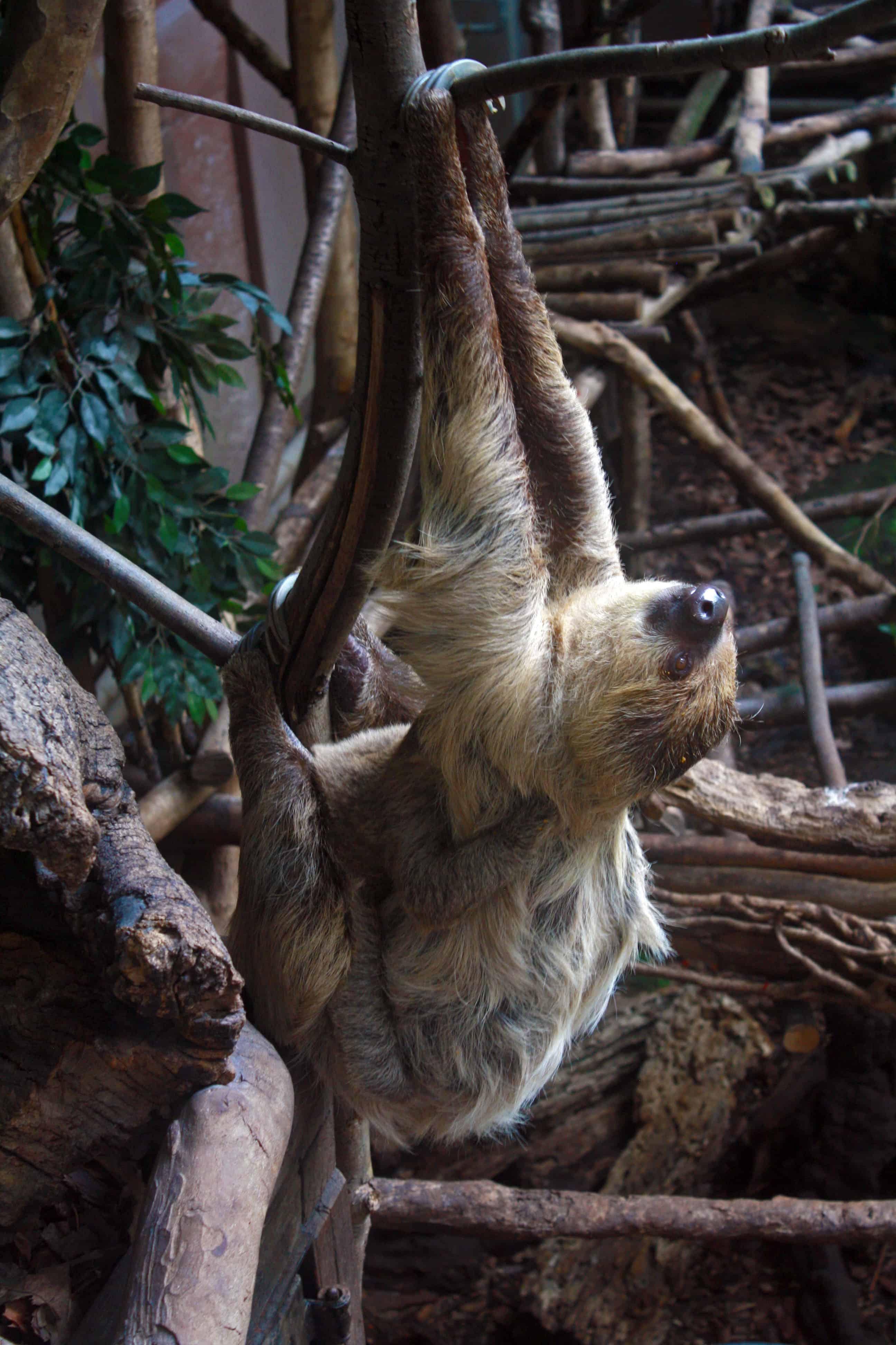 Mama sloth with a baby sloth at London Zoo