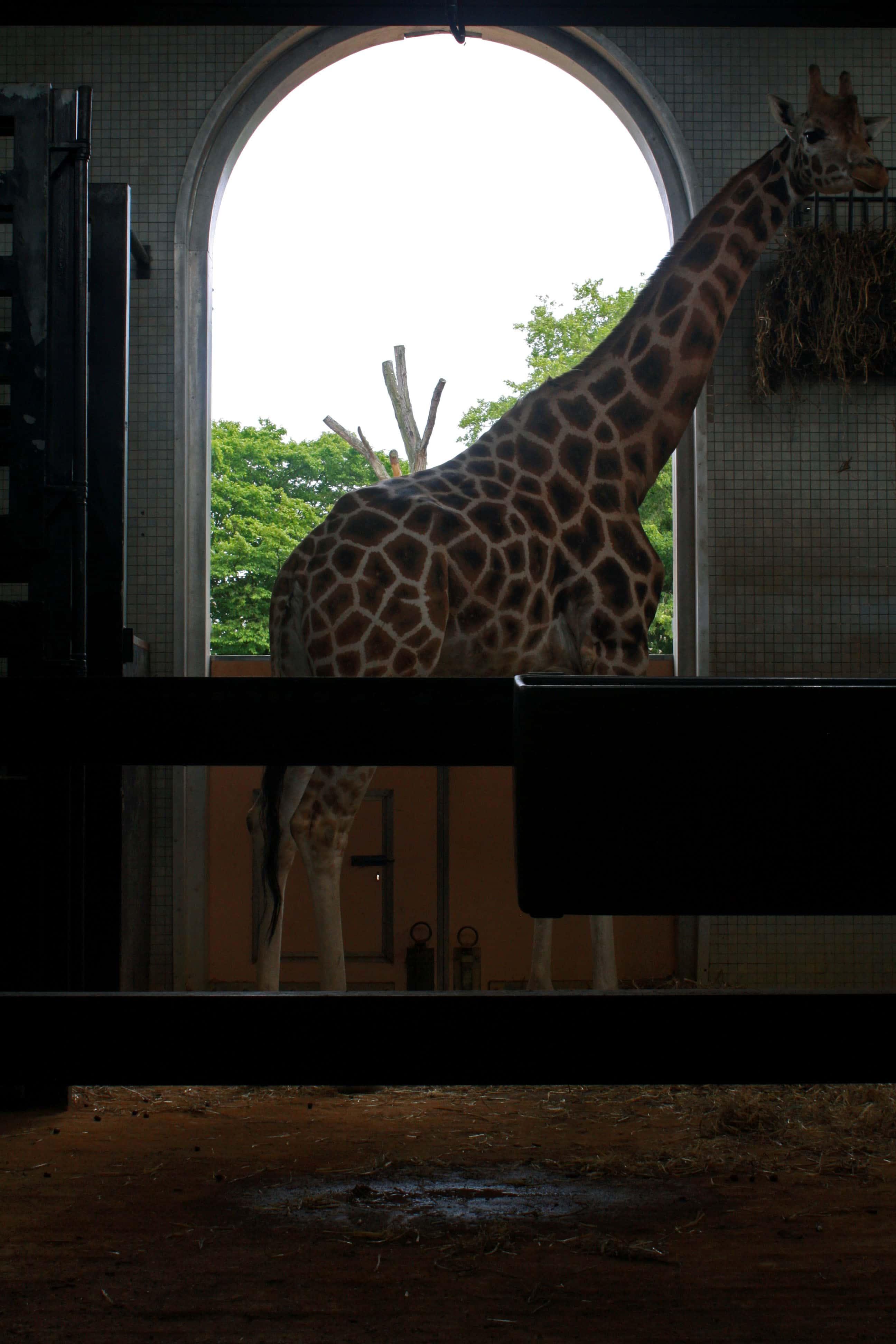 Giraffe in the giraffe house at London Zoo