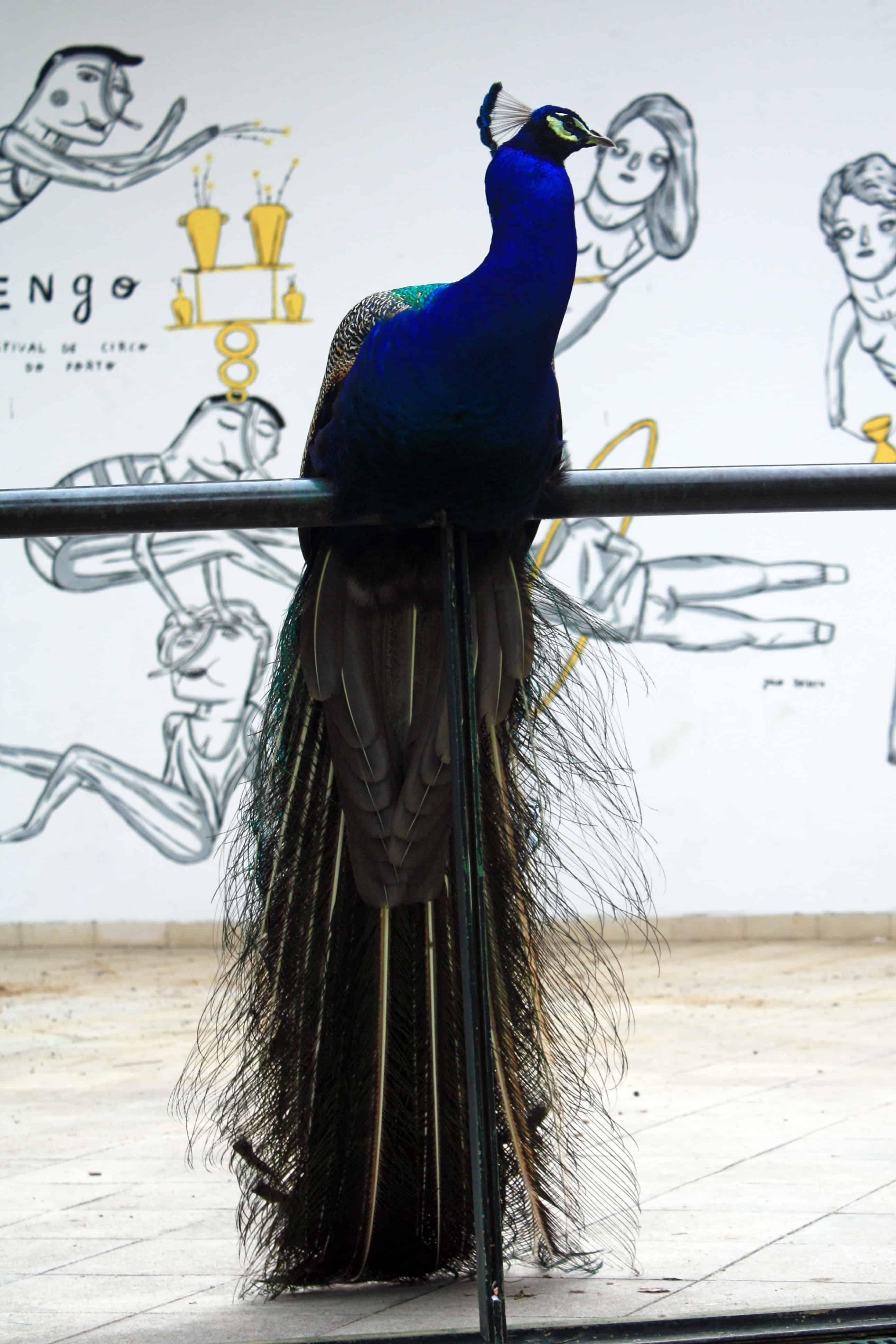Peacock in Jardins do Palácio de Cristal, Porto