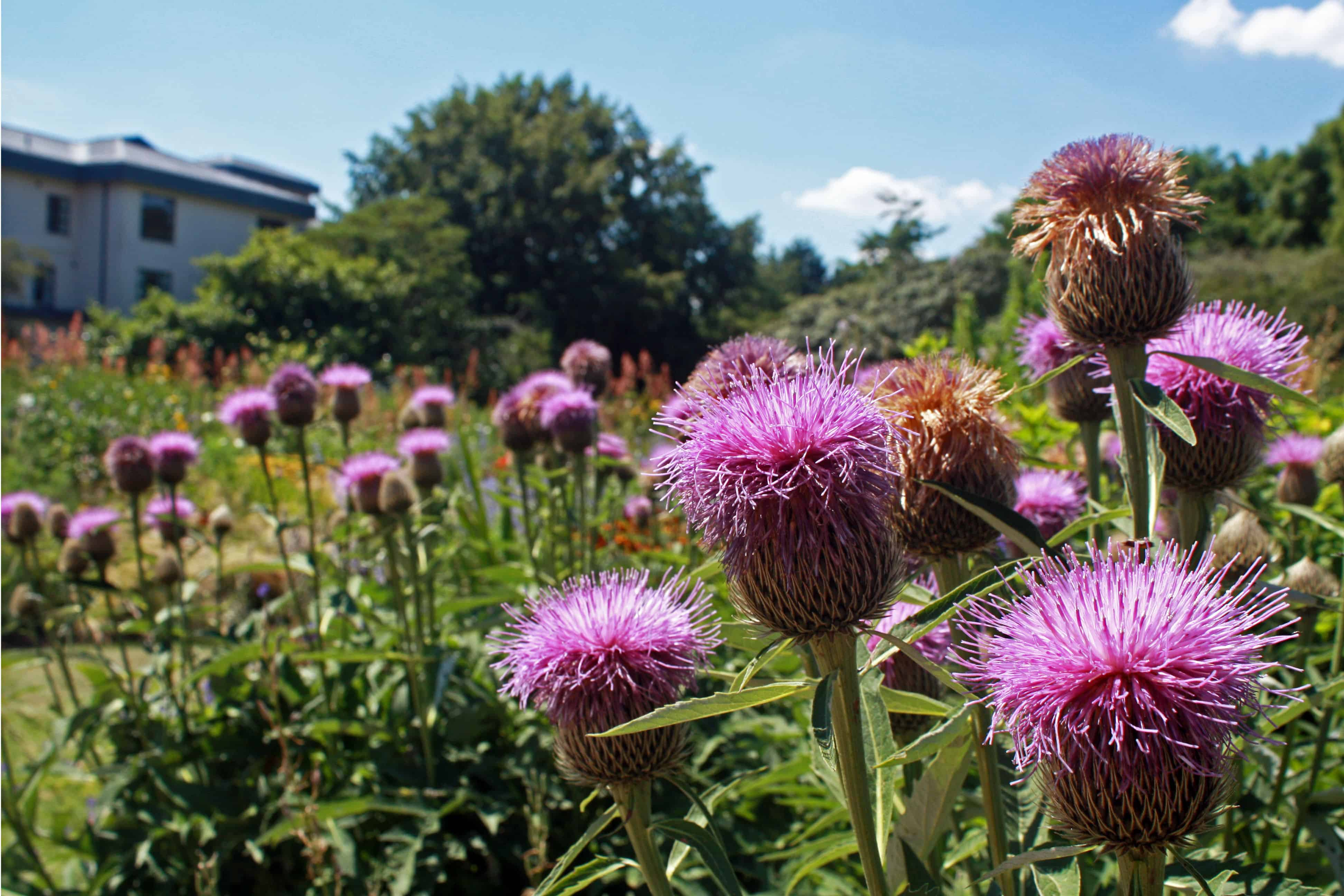 Thistles in Cambridge University Botanic Garden
