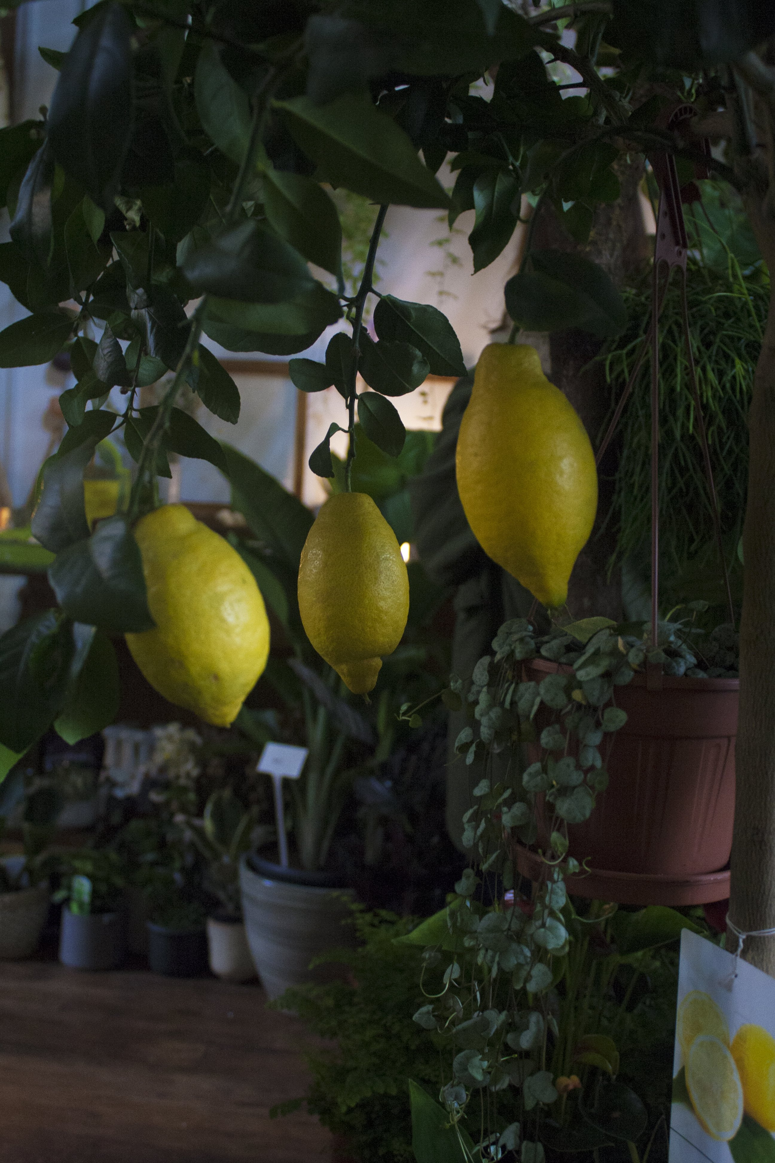 Lemons growing on a lemon tree at Conservatory Archives, Hackney