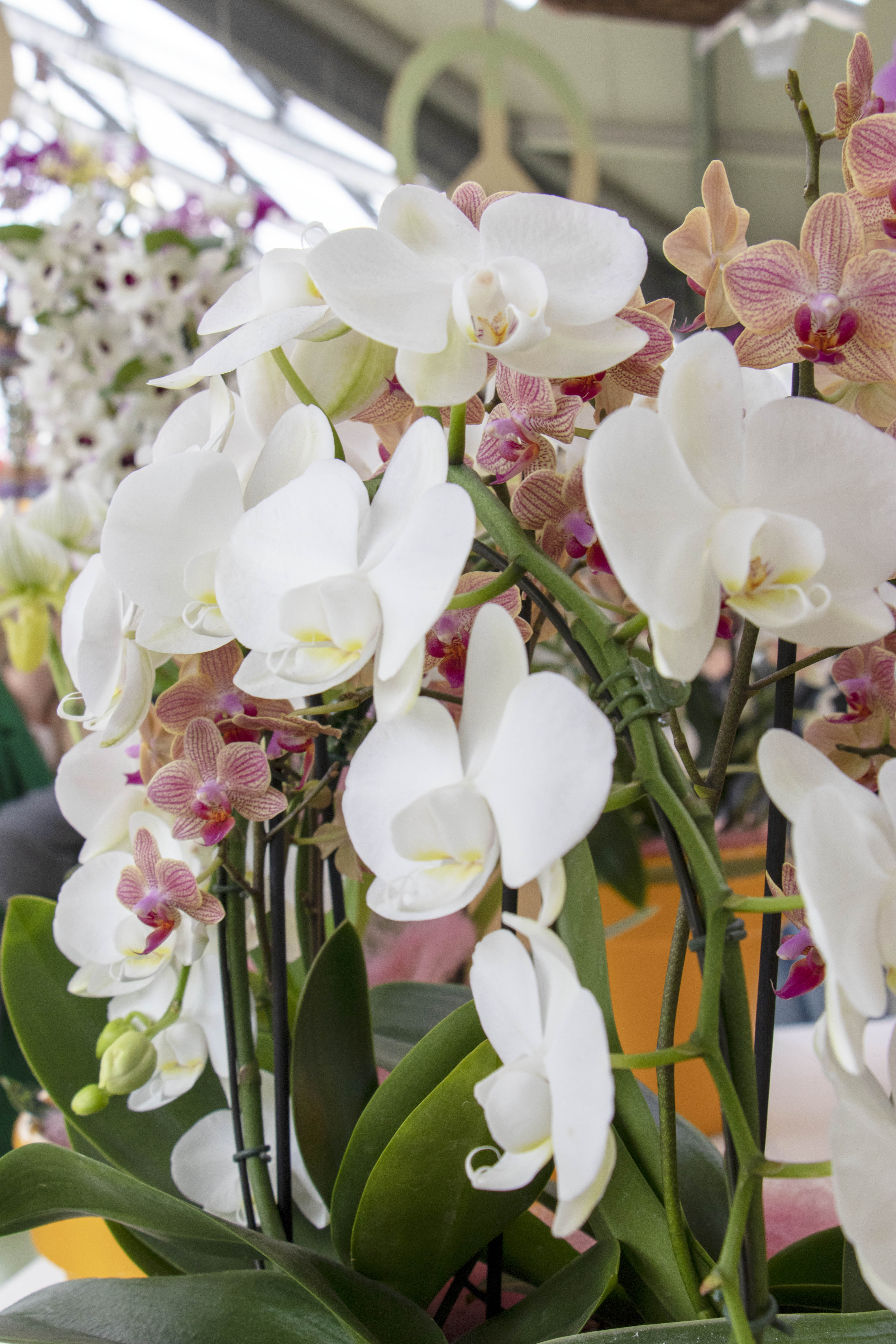 Orchids at Keukenhof, Lisse, Netherlands