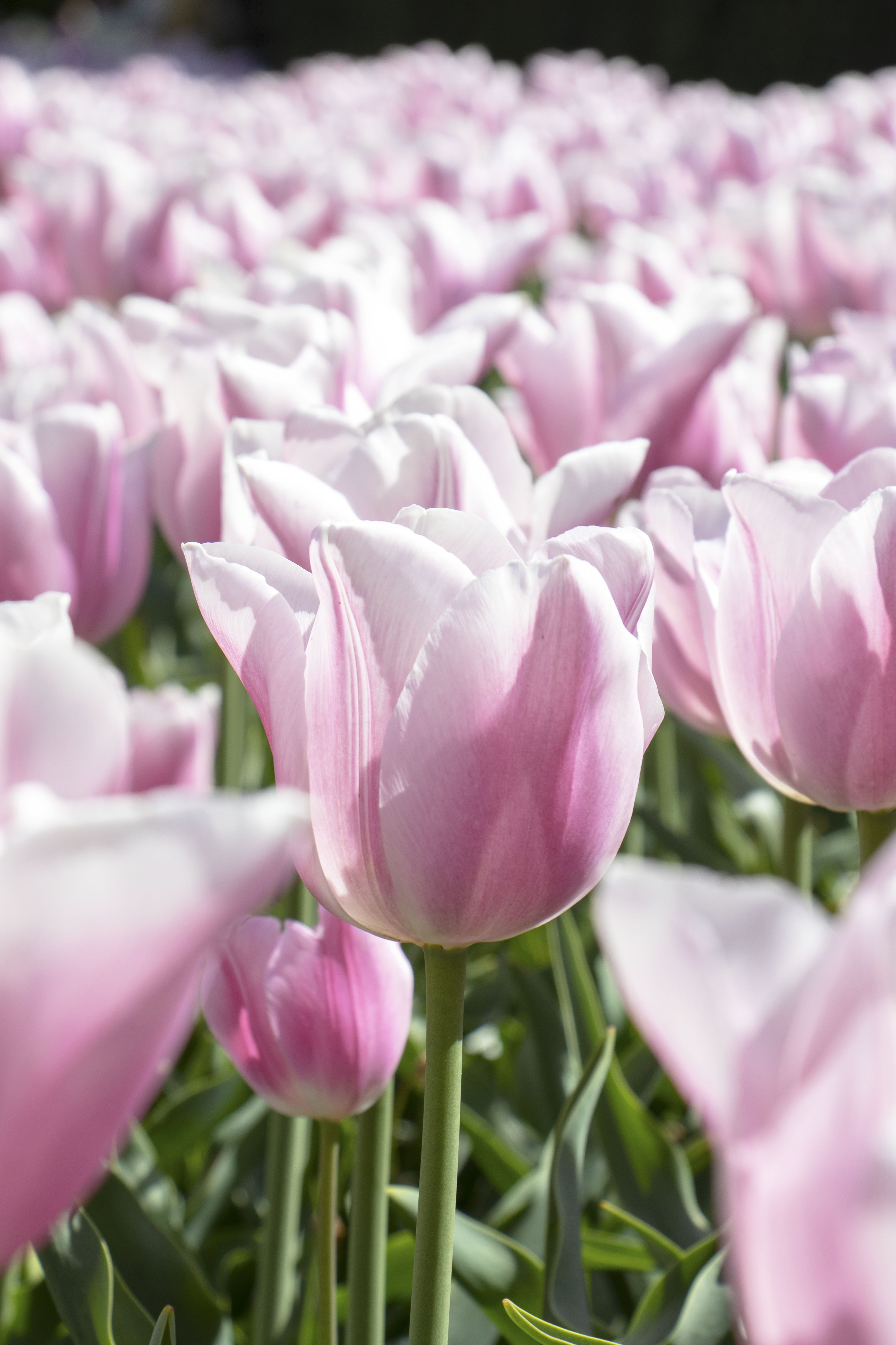 Pink and white tulips at Keukenhof, Lisse, Netherlands