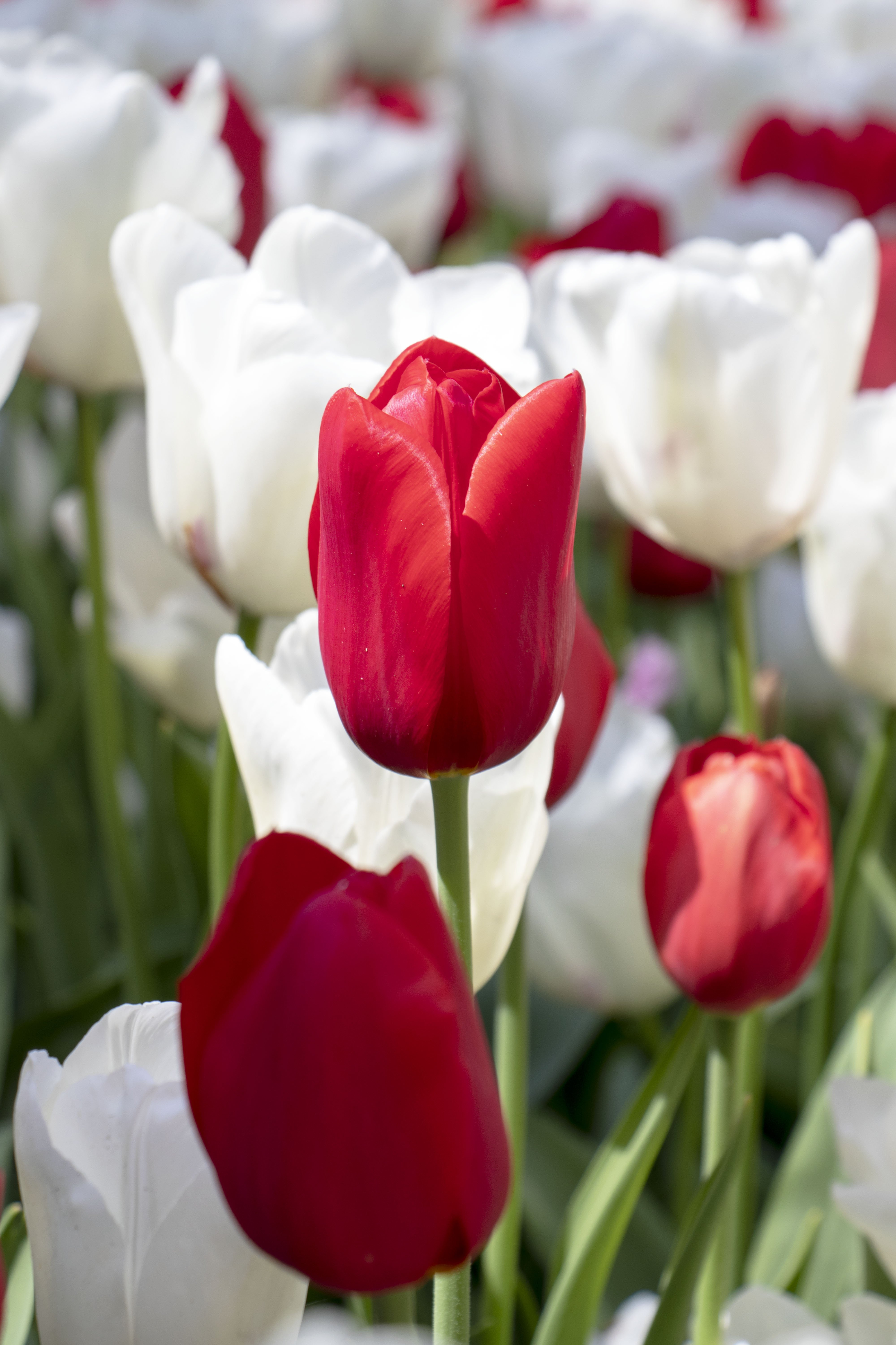 Red and white tulips at Keukenhof, Lisse, Netherlands