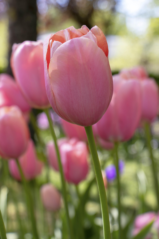 Tulip Menton at Keukenhof - Lisse, Netherlands