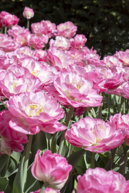 Tulip Pink Size at Keukenhof, Lisse, Netherlands