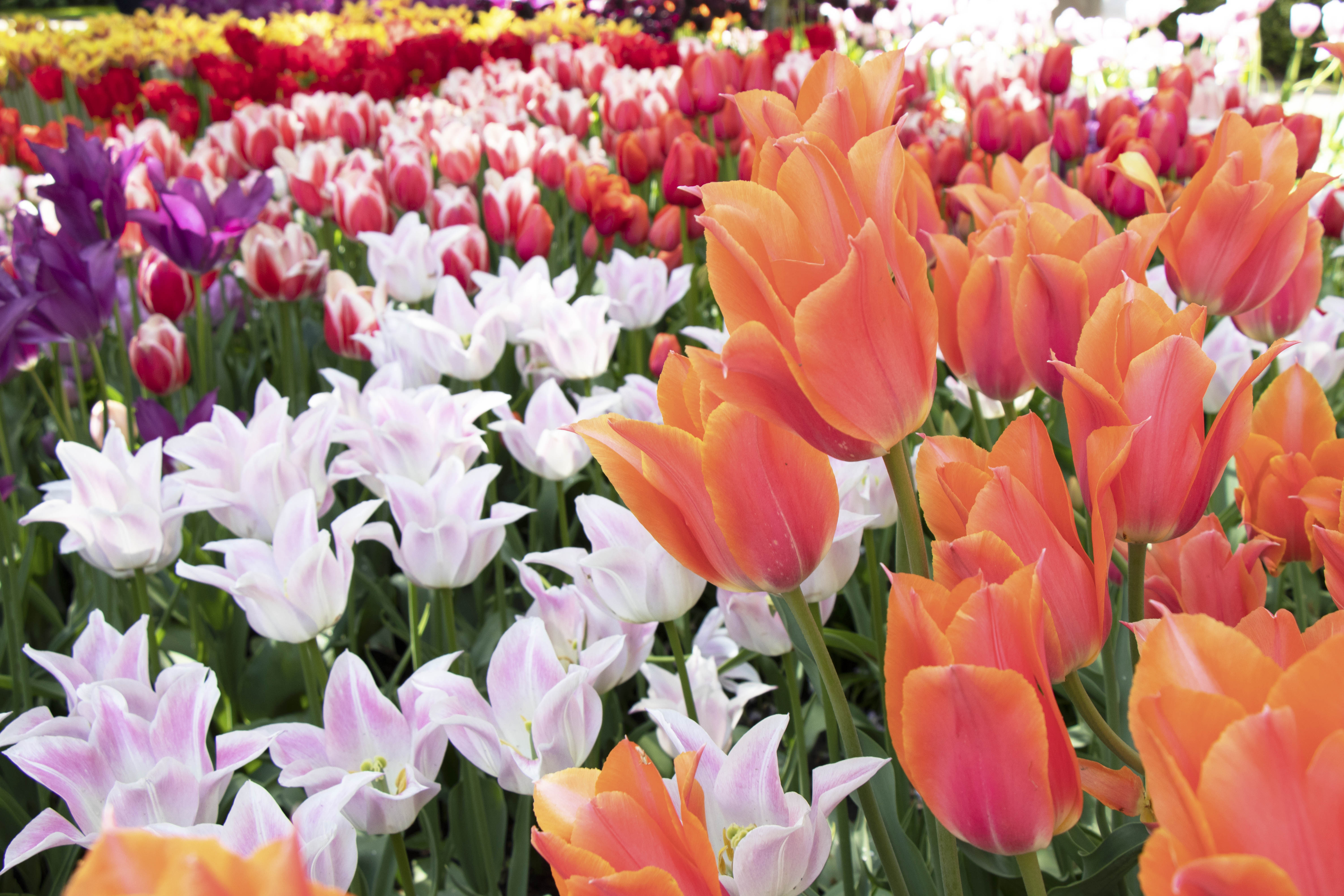 Tulips at Keukenhof - Lisse, Netherlands