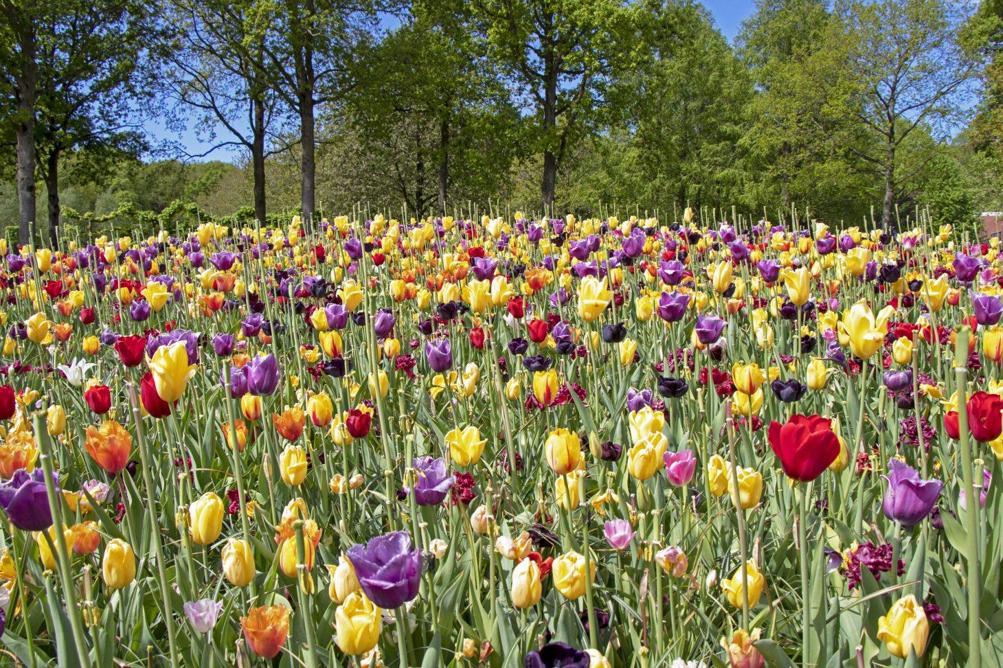 Tulips at Keukenhof, Lisse, Netherlands