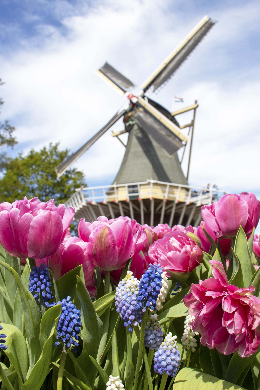 Tulips and Keukenhof windmill - Keukenhof, Lisse, Netherlands