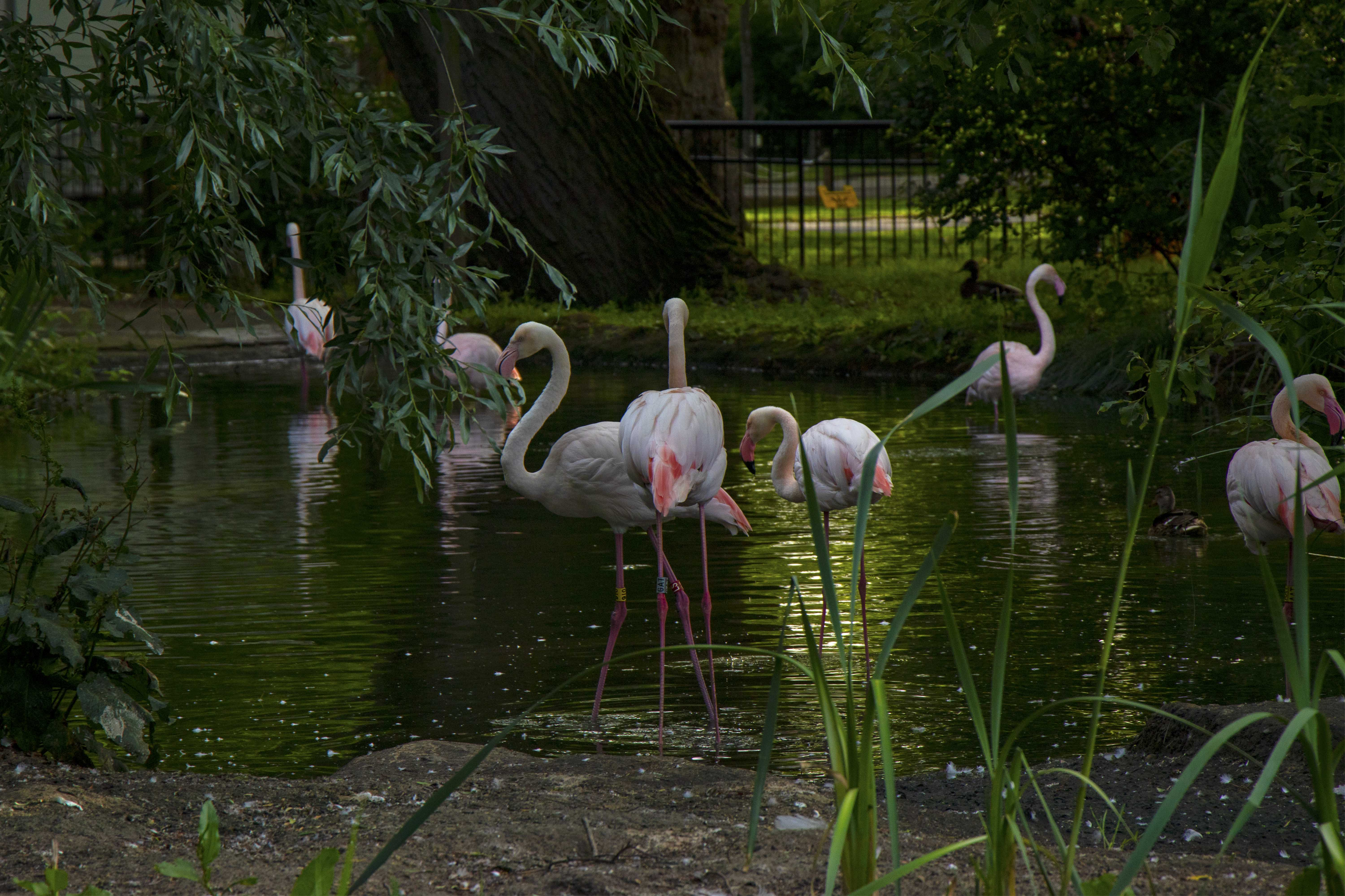 Flamingos at Zoo Nights, London Zoo
