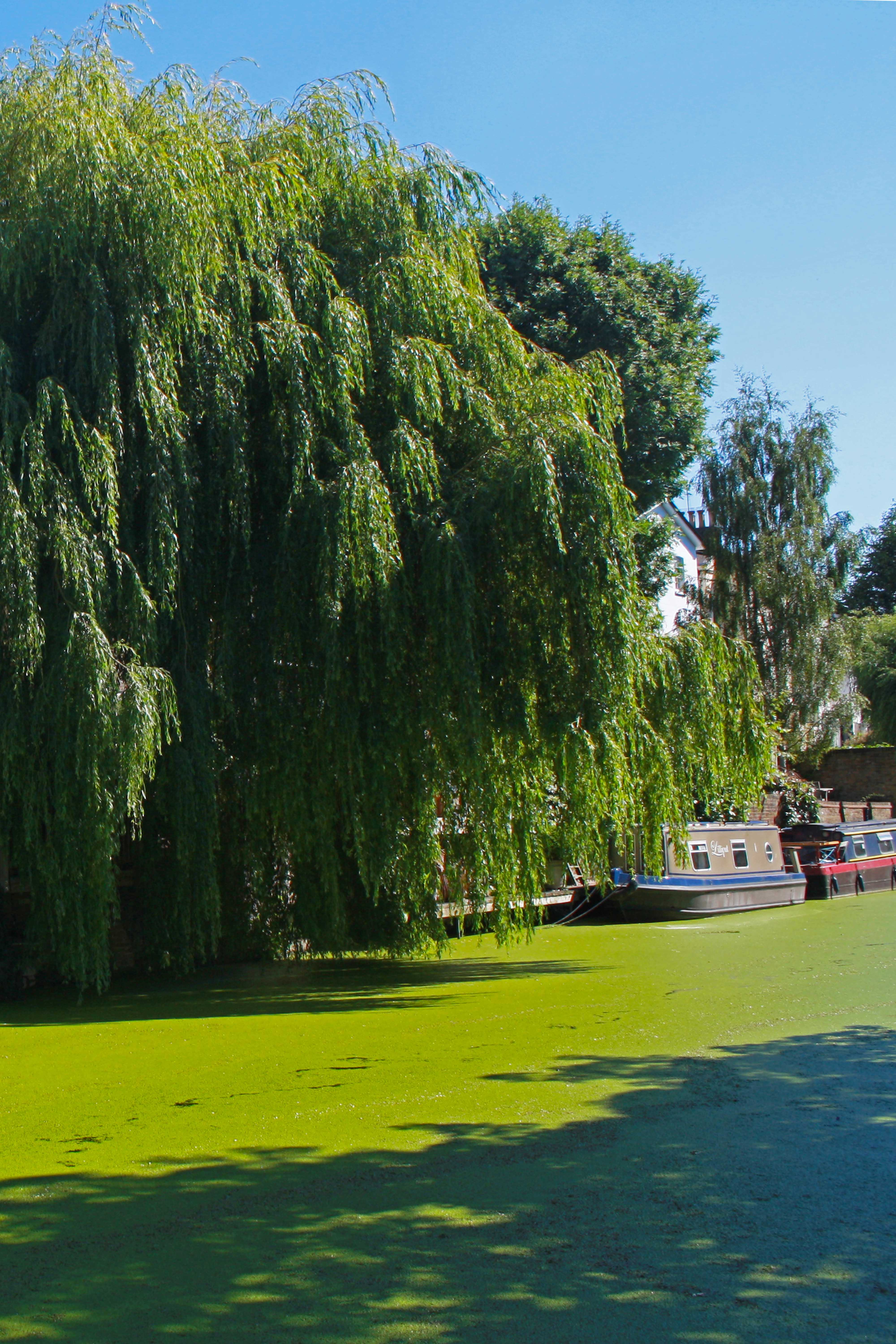 Willow tree and boats on Regent's Canal