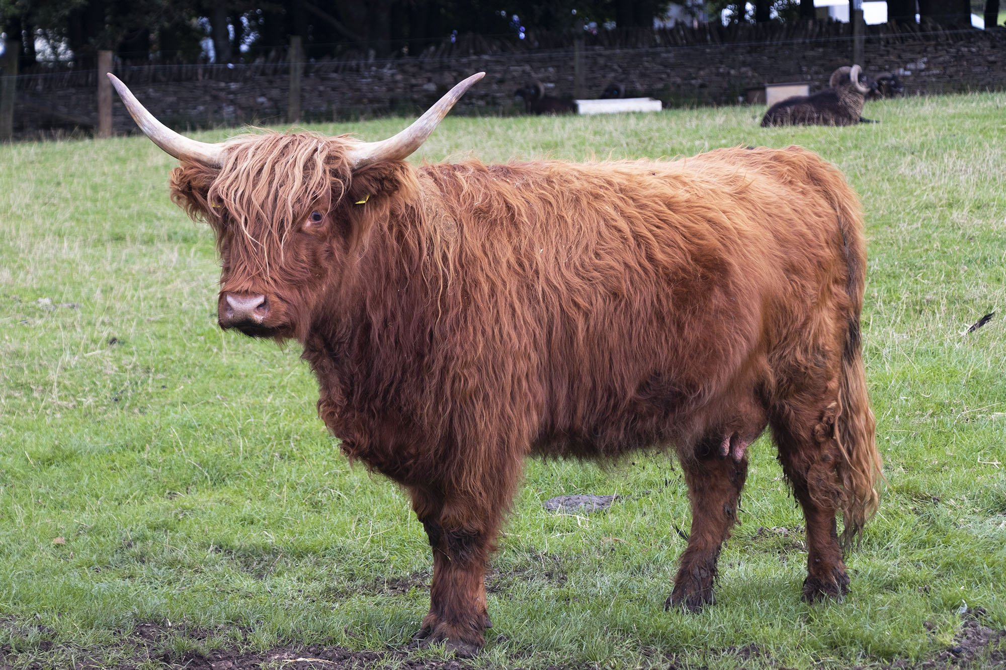 Highland cow at Cotswold Farm Park