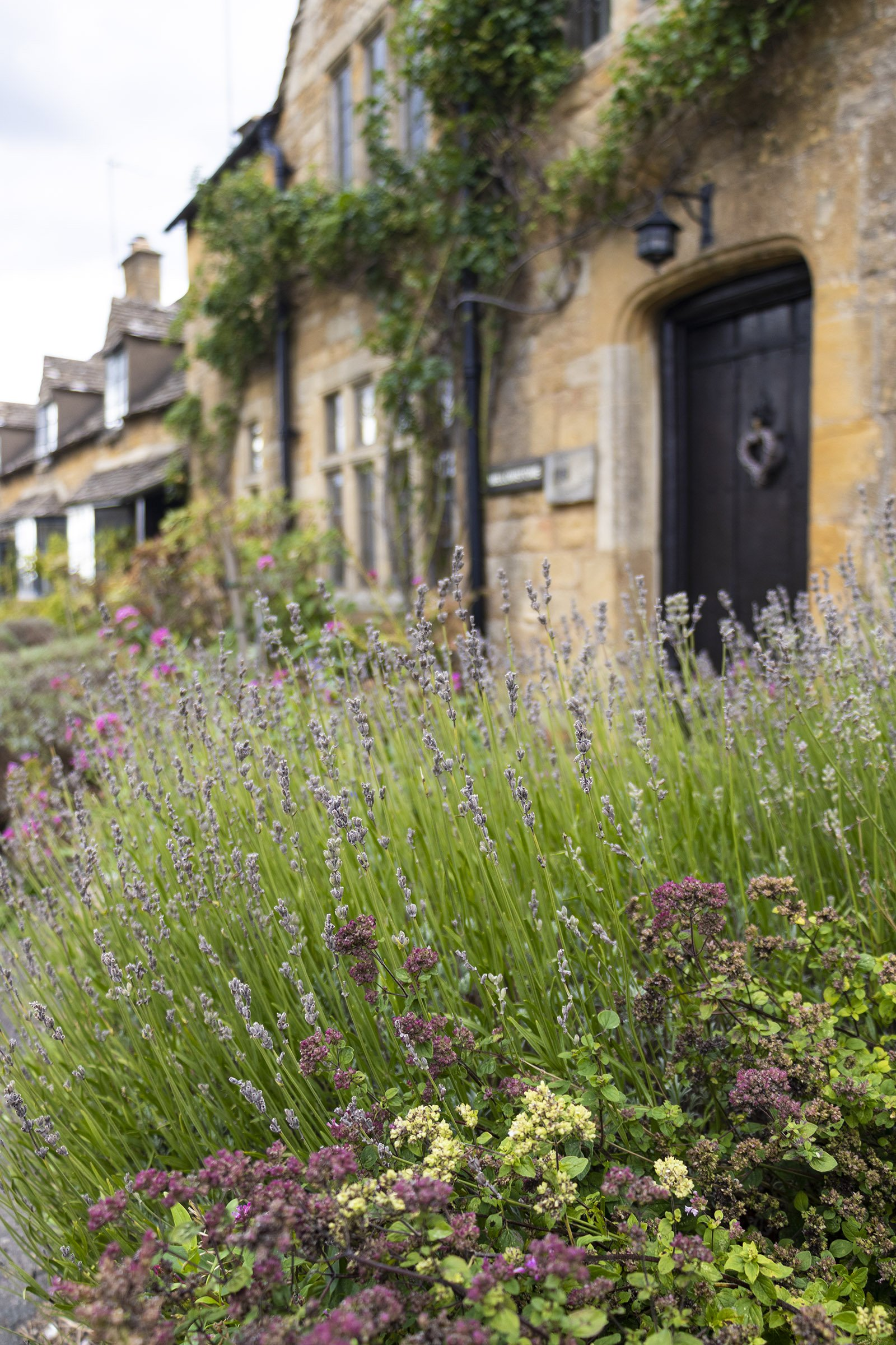 Lavender in front of Cotswold cottage
