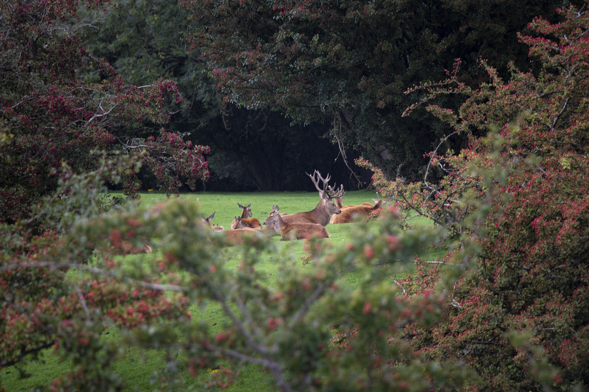 Stag and deer herd