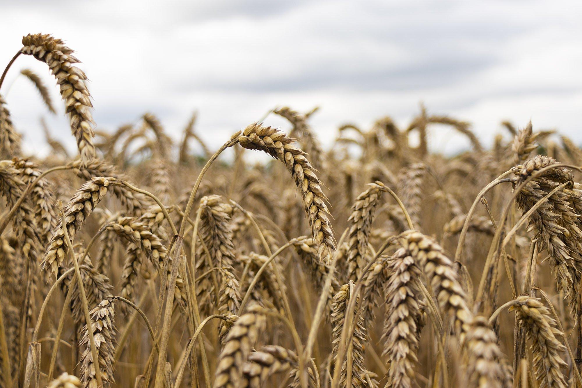 Wheat fields on cotswold way
